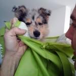 150111 - Hutchey pup in tas 4